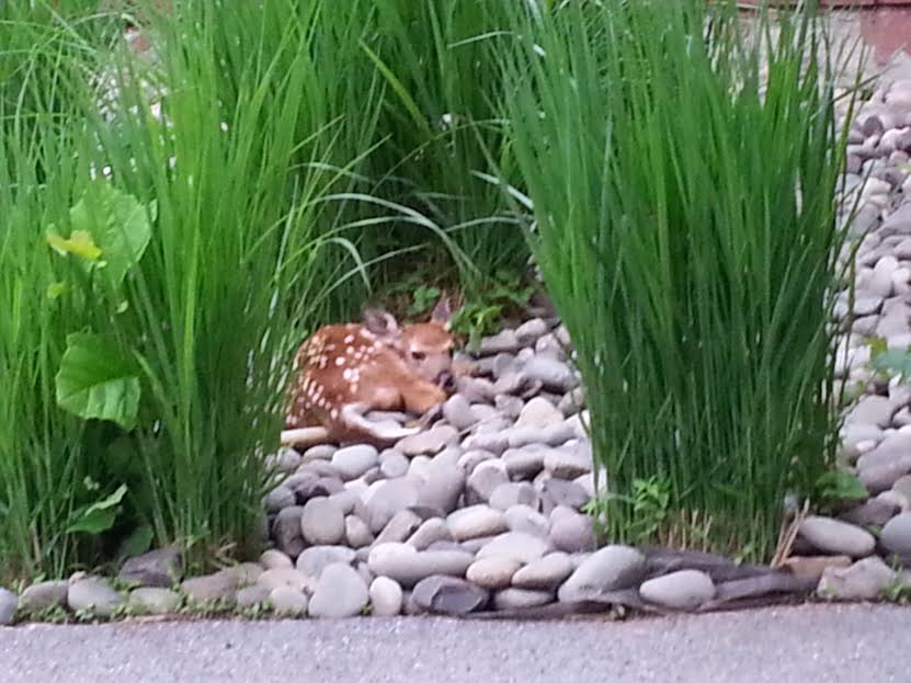 Suburban Deer Don't Understand Camouflage