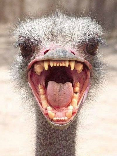 angry_ostrich